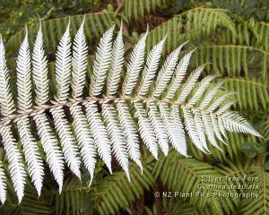 cyathea_dealbata_silver_tree_fern_1280x1024