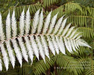 cyathea_dealbata_silver_tree_fern_1280x1024